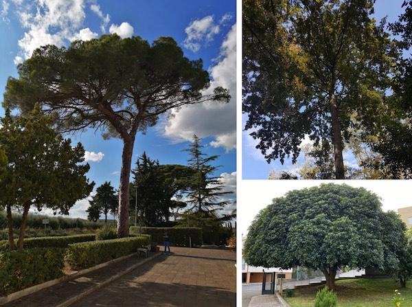 Il_MIPAAF_premia_tre_alberi_momumentali_a_Policoro.jpg
