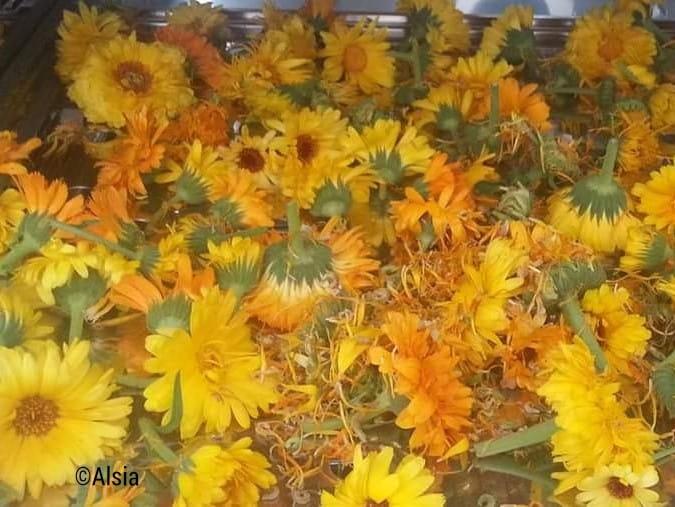 calendula_officinalis_officinali_Pollino_2.jpeg