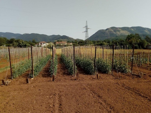 campo-di-pomodori.jpg_167037472.jpg