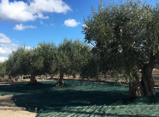olivicoltura_3.jpg